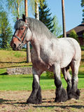 Full body shot of a Belgian draught horse. Sunny day Stock Photos
