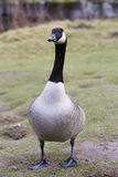 Full body shot of Canadian Goose Stock Photography