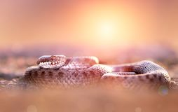 Common adder Royalty Free Stock Photos