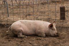 Full body shot of spotted lazy, sleepy, good natured single dirty young domestic pink laying down in his pen pig, with muddy feet,. Full body shot of organic royalty free stock photography
