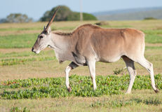 Full body shot single Eland Royalty Free Stock Image