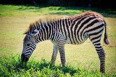 Full body and shown beautiful stripe of young zebra eating green Royalty Free Stock Photography