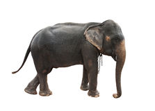 Full body side view of female indian elephant with steel chain o Royalty Free Stock Photo