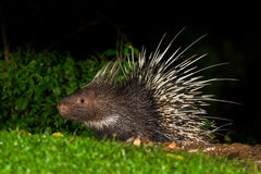 Full body side view of Nocturnal animals. Malayan porcupine(Hystrix brachyura) in nature at Kaengkrajarn national park,Thailand Royalty Free Stock Images