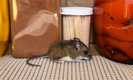 Full body side view of a wild gray house mouse in a kitchen cabinet with jars of food behind him. A small Mus musculus or common house mouse in a kitchen stock photos