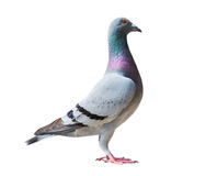 Full body of speed racing pigeon bird isolate white background Stock Image