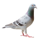 Full body of sport racing pigeon bird looking eye contact to cam royalty free stock photos