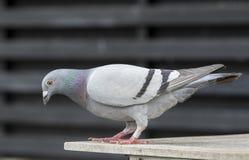Full body sport racing pigeon bird standing on home loft Royalty Free Stock Image