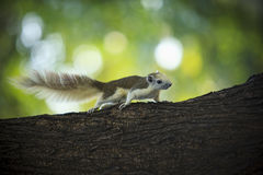Full body of squirrel on tree branch with green blur background Royalty Free Stock Photo