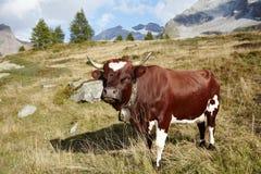 Full body swiss Evolène cow Royalty Free Stock Photo