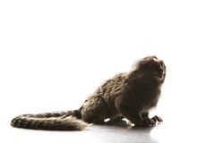 Full body and tail of Marmoset  Callithricidae smallest monkey w Stock Photo