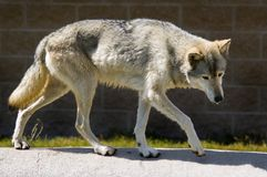Full Body Timber Wolf. Full body image of timber wolf (canis lupus) stalking along rock edging royalty free stock photography