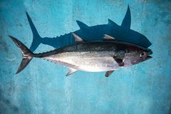 Full body of tuna fish on blue wood of fishing boat stock photos