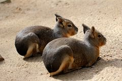 Two Patagonian Cavy Maras. Full body of two Patagonian Cavy Maras dolichotis mammal Royalty Free Stock Images