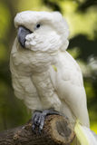 Full body view of a cockatoo. Stock Photography