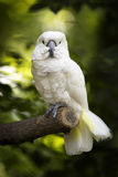 Full body view of a cockatoo. Royalty Free Stock Photo