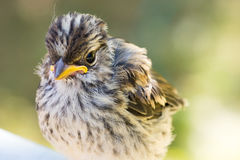 Full body view of small baby sparrow Royalty Free Stock Photo