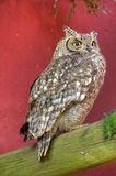 Full Body View of Spotted Eagle Owl Perching Royalty Free Stock Photos