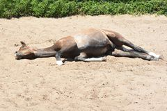 Resting foal Royalty Free Stock Photos