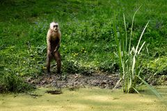 White-headed Capuchin monkey. Full body of white-headed Capuchin monkey - New World monkey of the subfamily Cebinae royalty free stock photography