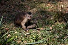 Full body of white-headed Capuchin New World monkey of the subfamily Cebinae. Photography of nature and wildlife royalty free stock photo