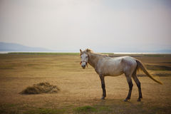 Full body of white horse standing in open meadow royalty free stock images