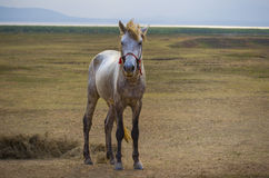 Full body of white horse standing in rural meadow Royalty Free Stock Photography