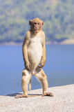 Full body of young male natural wild Rhesus macaque monkey stand Royalty Free Stock Photo