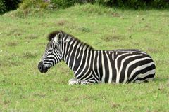 Zebra foal resting in the wild Royalty Free Stock Images