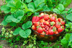 Full bowl of strawberries. In the strawberry field Stock Images