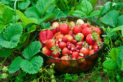 Full bowl of strawberries Stock Images