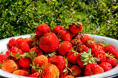 Full bowl. Strawberry shines in beams of the summer sun Royalty Free Stock Images