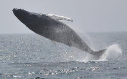 Full breach of Humpback whale Stock Photo
