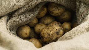 Fresh from the ground potatoes in a sack. Full brown sack of fresh and firm potatoes right from the ground stock video footage