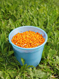 Full bucket of sea-buckthorn on green grass Royalty Free Stock Image