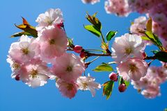 In full bud. A blooming branch of cherry tree, delicate buds, and fresh young leaves Royalty Free Stock Image