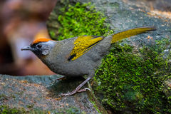 Full close up of Silver-eared Laughingthrush Stock Photos