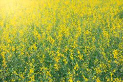 Full color Canola flowers field. Full color Canola flowers field Royalty Free Stock Photos