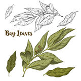 Full color realistic sketch illustration of bay leaves Stock Photos