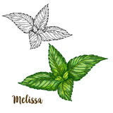 Full color realistic sketch illustration of melissa Stock Image