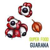Full color super food hand drawn sketch. Guarana. Full color super food hand drawn sketch vector illustration vector illustration