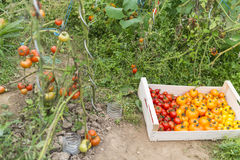 Full crate of various species of tomatoes and tomato plants Royalty Free Stock Images