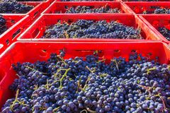 Grape harvesting. Full crates for grape harvesting Royalty Free Stock Images
