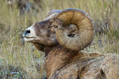 Full Curl Bighorn royalty free stock image