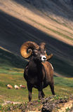 Full Curl Bighorn Ram. A full curl bighorn sheep ram above timberline Stock Photos