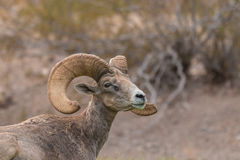Full Curl Desert Bighorn Ram Stock Photo
