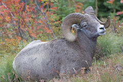 Full Curl Ram in the Wild Royalty Free Stock Photo