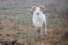 Full curl Texas Dall ram Stock Photography