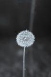Full Dandelion stock photos