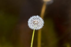Full Dandelion Royalty Free Stock Image